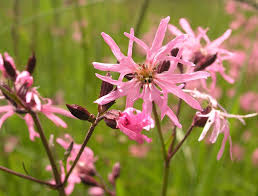 Lychnis flos-cuculi - Wikipedia