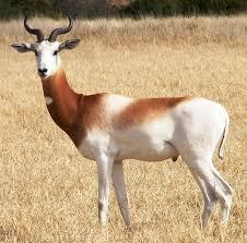 Image result for dama gazelle