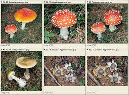 Dr  Giuseppe MAZZA Journalist   Scientific photographer  gt  Fungi Amanita muscaria   Amanita phalloides   Astraeus hygrometricus