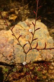 Limonium echioides – Wikipedia