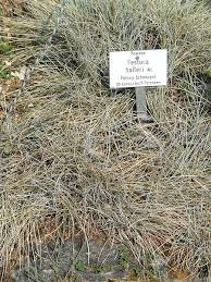 File:Festuca halleri - Botanischer Garten München-Nymphenburg ...