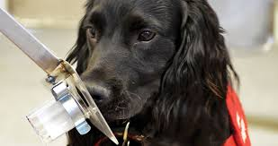 Image result for canine cancer sniffers
