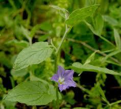 Convolvulus siculus L. | Flora of Israel Online