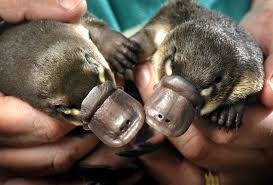 Image result for newborn platypus