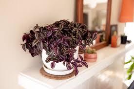 How to Grow Wandering Jew Plants (Spiderwort)