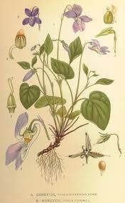 Viola canina - Wikipedia