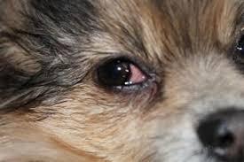 Οφθαλμικές φλεγμονές σε σκύλο...