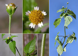 Galinsoga parviflora Cav. - Sistema informativo sulla flora vascolare ...