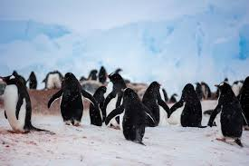 photo essay antarctic penguins antarctica these hardy penguins battle tirelessly against the harsh snow and wind