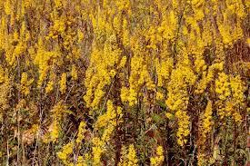 Solidago speciosa - Michigan Flora