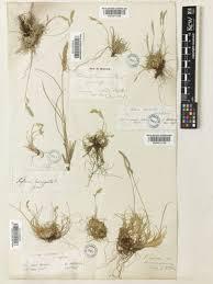 Festuca circummediterranea Patzke | Plants of the World Online ...