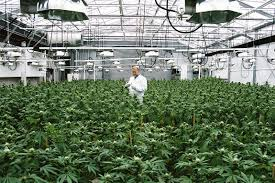 the thesis of marijuana why marijuana should be legal the motley fool why marijuana should be legal the motley fool