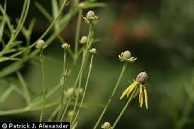 Plants Profile for Rudbeckia laciniata (cutleaf coneflower)