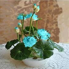 Brand New! 10pcs/pack bowl lotus seed hydroponic ... - Amazon.com