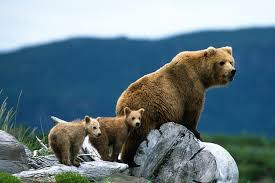 how movies have changed our expectations of the wild false an alaskan brown bear and two cubs on the alaskan peninsula a more common sight in wildlife films and photography than in reality