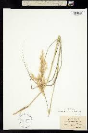 Achnatherum calamagrostis - SEINet Portal Network