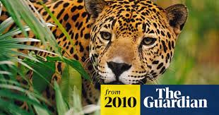 Jaguars <b>obsessed</b> with <b>Calvin Klein</b> scent | Wildlife | The Guardian