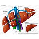 vena hepatica