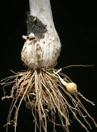 Allium ampeloprasum L. | Flora of Israel Online