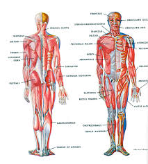 body muscles diagram labeled   anatomy human body    body muscles diagram labeled human muscle diagram labeled human anatomy diagram
