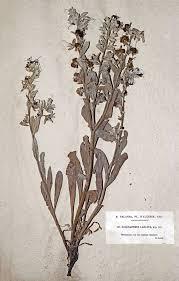 Solenanthus – Wikipedia