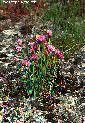 Den virtuella floran: Allium schoenoprasum L. - Gräslök