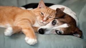 Resultado de imagen de vacunacion perros y gatos 2015
