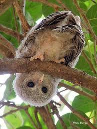 """Résultat de recherche d'images pour """"stupid owlet"""""""