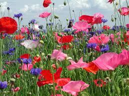 תוצאת תמונה עבור wildflowers