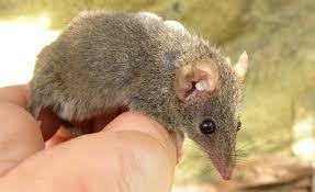 Why A Little Mammal Has So Much <b>Sex</b> That It Disintegrates