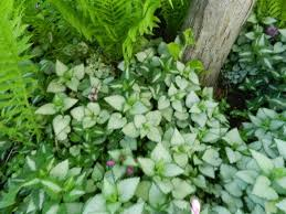 Lamium - Powerful Perennials