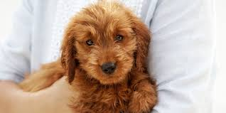 A Guide to <b>Poodle</b> Mixes and Doodle Dogs | Martha Stewart