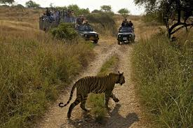 essay on tigers eye of the tiger   seethewild wildlife conservation travel  a tigress moves through