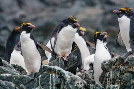 penguins smithsonian ocean portal a group of macaroni penguins on rocks
