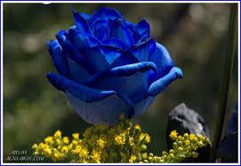 صور اجمل وردة صورة اجمل وردة رقيقة رومانسية Ajmal warda