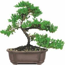 green mound juniper bonsai tree walmartcom bonsai tree