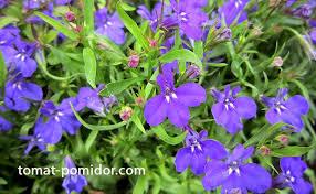 <b>Лобелия</b> - посадка цветов, уход, выращивание из семян, сорта ...