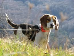 """Résultat de recherche d'images pour """"image promener mon beagle"""""""