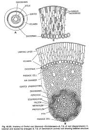epiphytic roots and storage roots  with diagram   botany