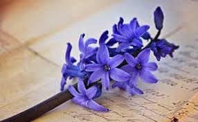 """Képtalálat a következőre: """"hyacinth"""""""