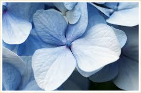 30 Types of <b>Blue Flowers</b> - FTD.com
