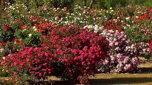 Resultado de imagen de imágenes de rosales en flor