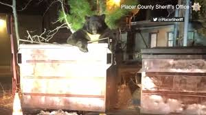 '<b>T</b>-<b>Shirt</b>' the <b>bear</b> freed from dumpster in Lake Tahoe: VIDEO ...