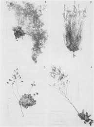 Miscellaneous Notes on the Genus Limonium (Plumbaginaceae)