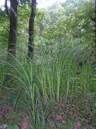 Carex buekii – Wikipedia