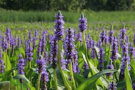 Image result for sweet flag plant
