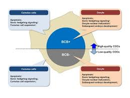 IJMS | Free Full-Text | Effect of Oocyte <b>Quality</b> Assessed by Brilliant ...