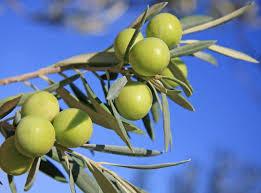 「オリーブの木写真フリー」の画像検索結果