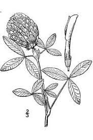 Plants Profile for Trifolium medium (zigzag clover)