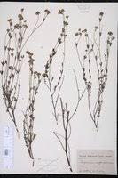 SEINet Portal Network - Dorycnium pentaphyllum